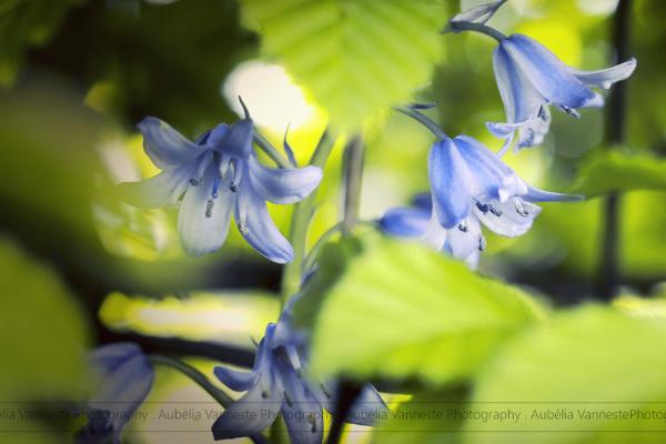 Beautiful Hyacinths between the leaves