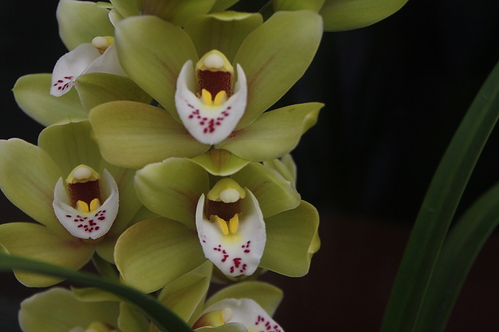 Oquídies #2  Cymbidium
