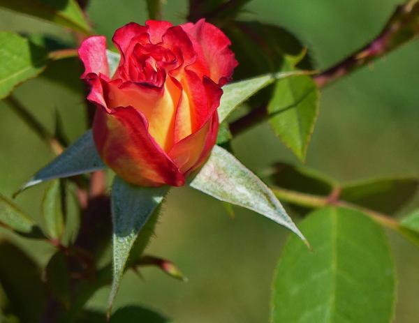 """Rosa """"Novaïa"""""""