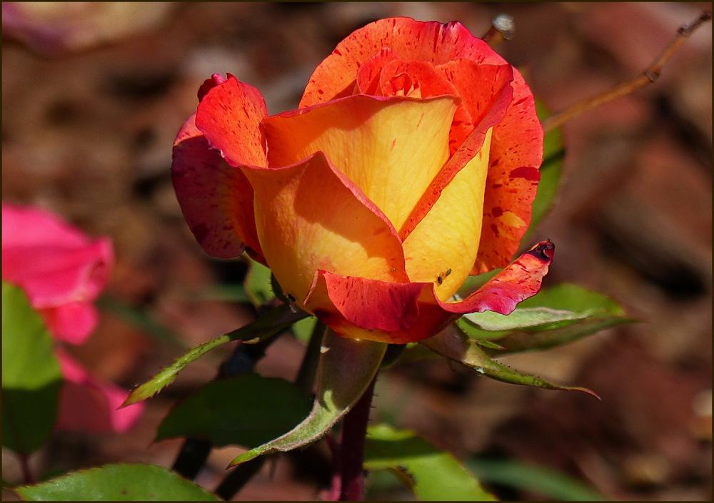 16è Concurs Internacional de Roses Noves (1/5)