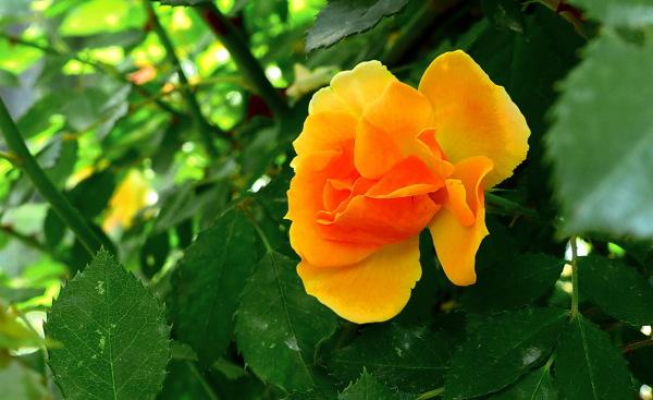 16è Concurs Internacional de Roses Noves (5/5)
