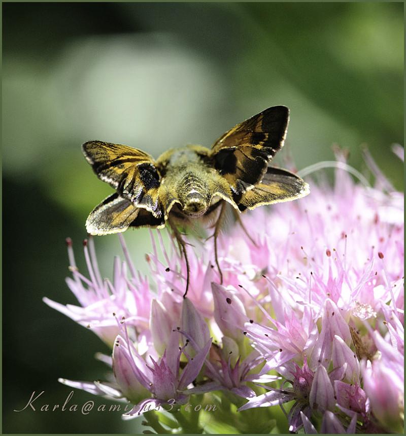 insect, garden, skipper, butterfly