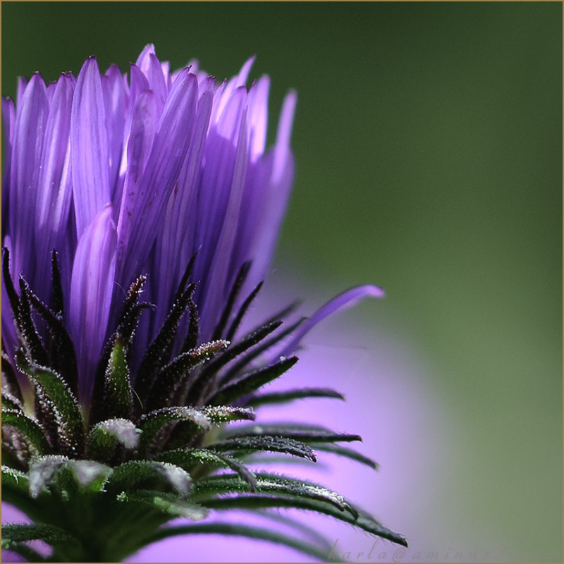 New-England-Aster bracts