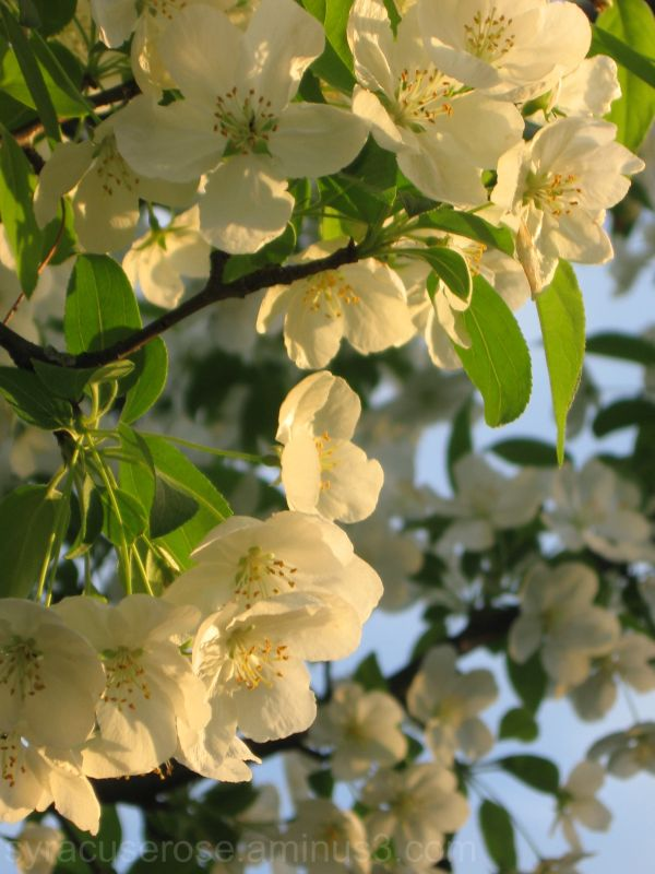 Crabapple Blossoms II