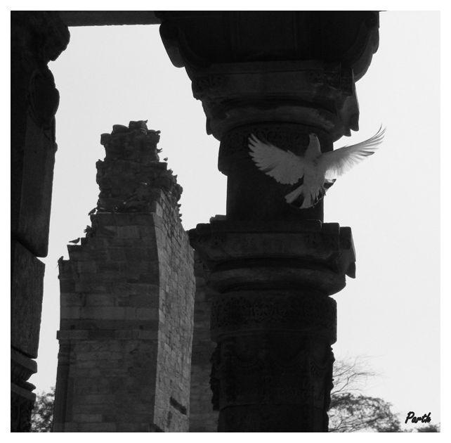 pigeon at qutub minar