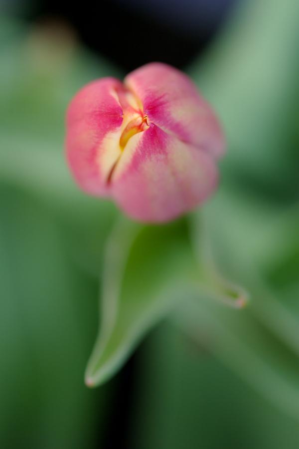 A Pink Bud - 3 -