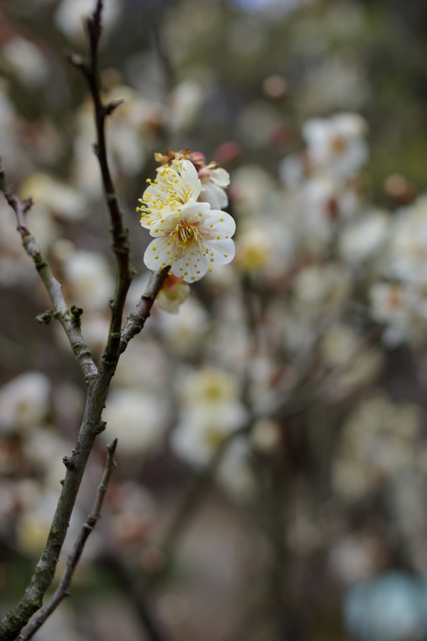 Japanese Apricot - 3 -