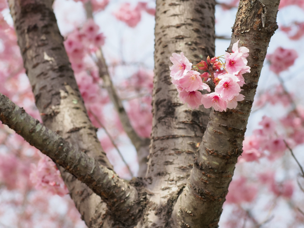 Cherry Blossoms - 4 -