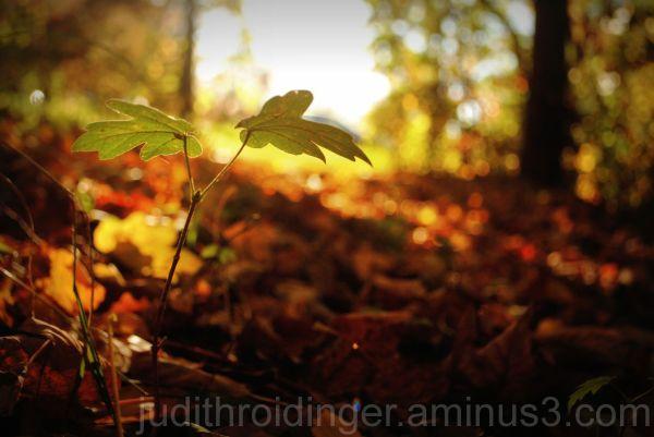 autumn light leaf