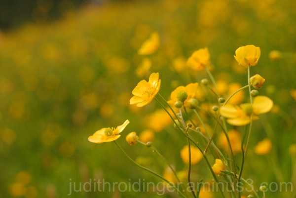 Yellow flowers in springtime