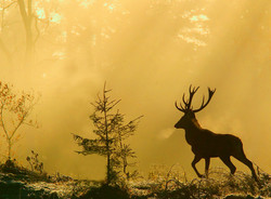 Reddeer in early autum morning