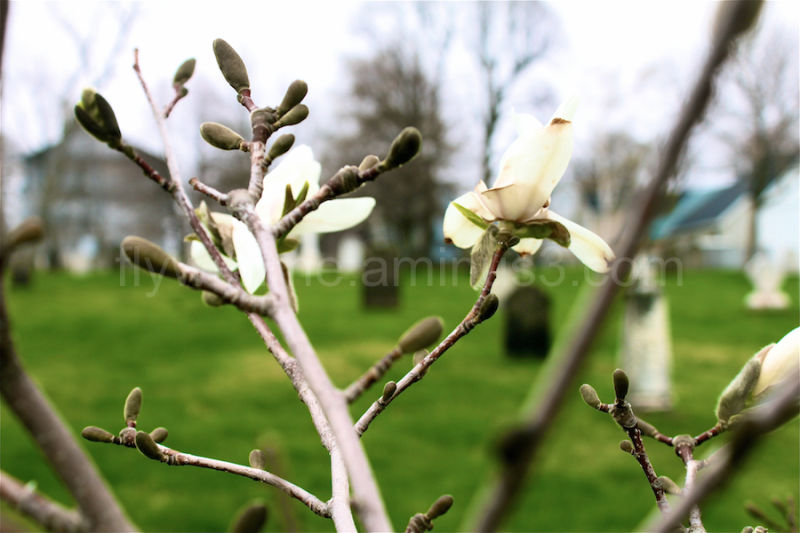 magnolia blooming in cemetery