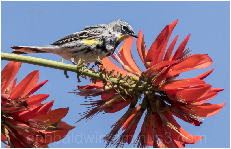Yellow-rumped warbler on a coral tree