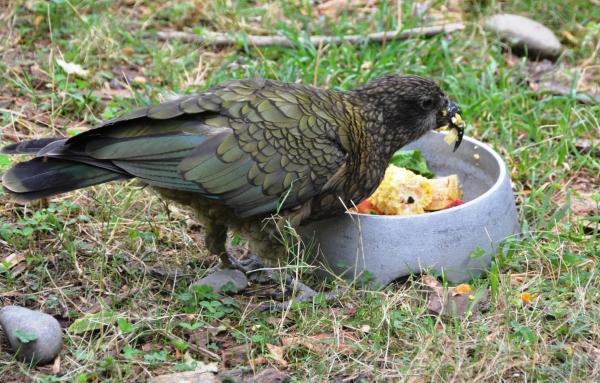 Kea feeding @ Orana Park in Christchurch