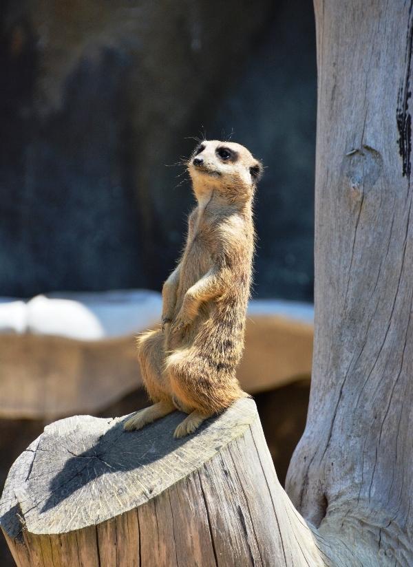 Mercat standing guard @ Auckland Zoo