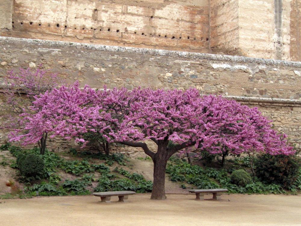 L'arbre de Judée .
