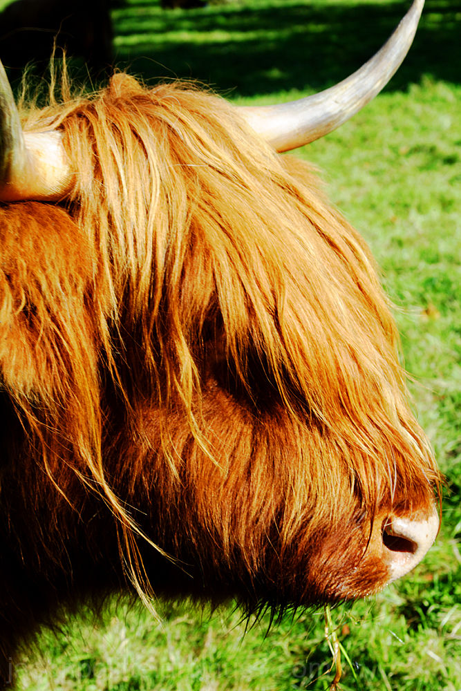 Highland cow on the grounds of Glamis Castle