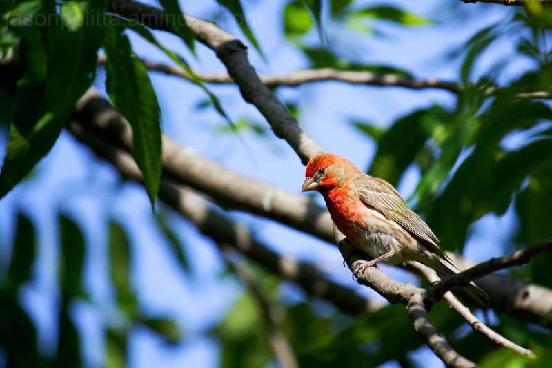 House Finch perched in our Pecan Tree