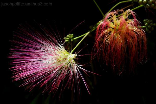 Mimosa tree flowers create fireworks-like display