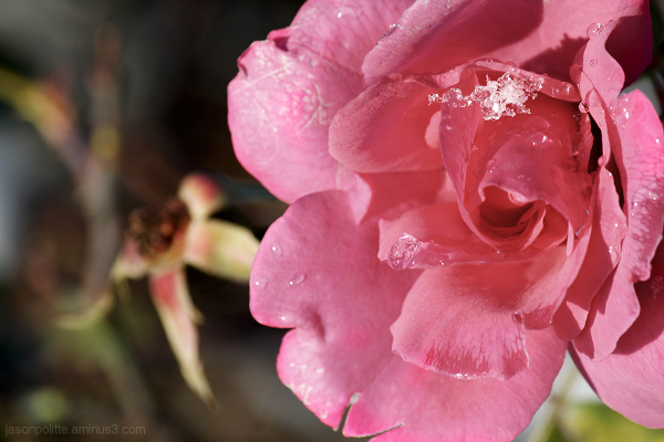 Last of the snow melting from this pink rose.