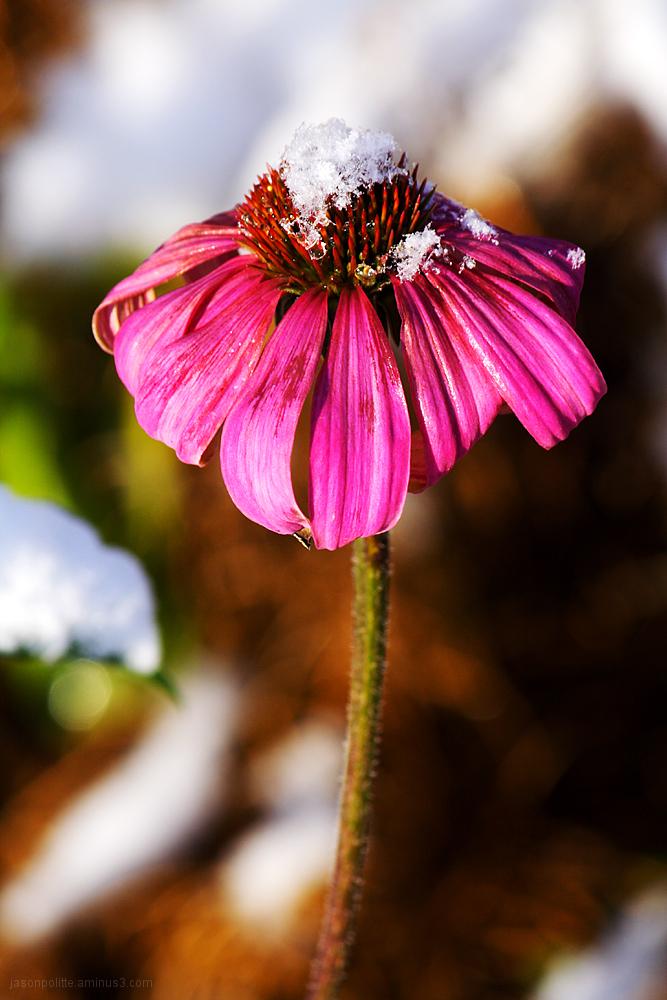 Snow-Capped Purple Cone Flower