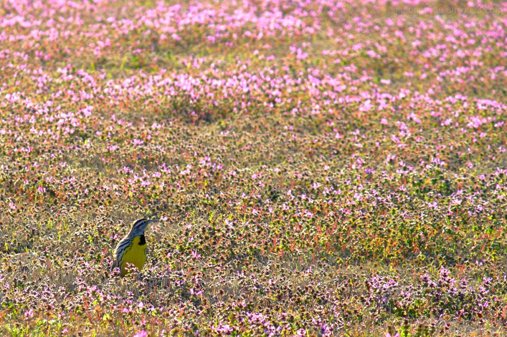 Meadowlark displays his colors in field of flowers