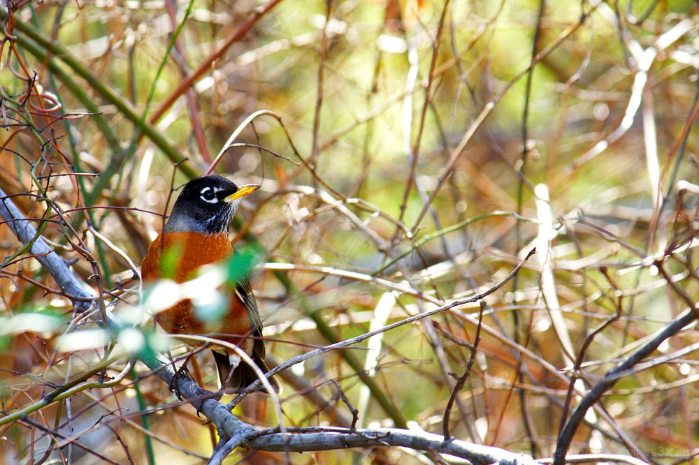 American Robin hiding in the thicket.