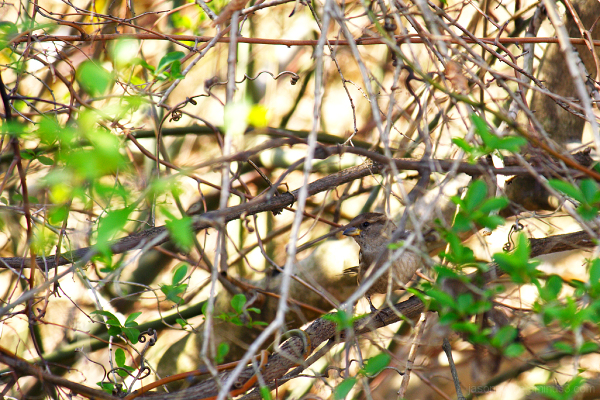 Sparrow camouflaged amongst a thicket