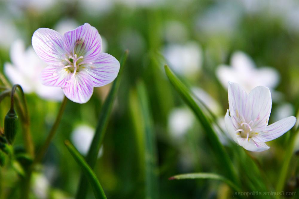 Macro of small flowers blooming in Spring.
