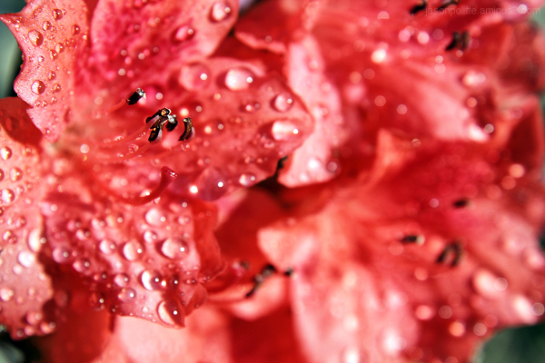 Raindrops glisten upon Azaleas