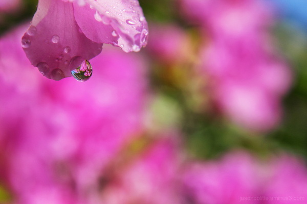 Water droplet on Azalea acts as a lens