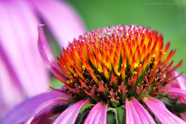 Purple Cone Flower covered in dew droplets