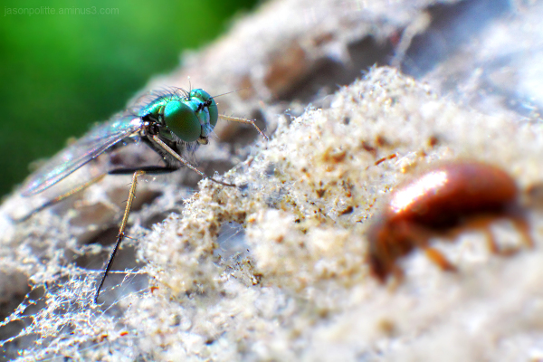 Macro of fly caught in web with dead beetle