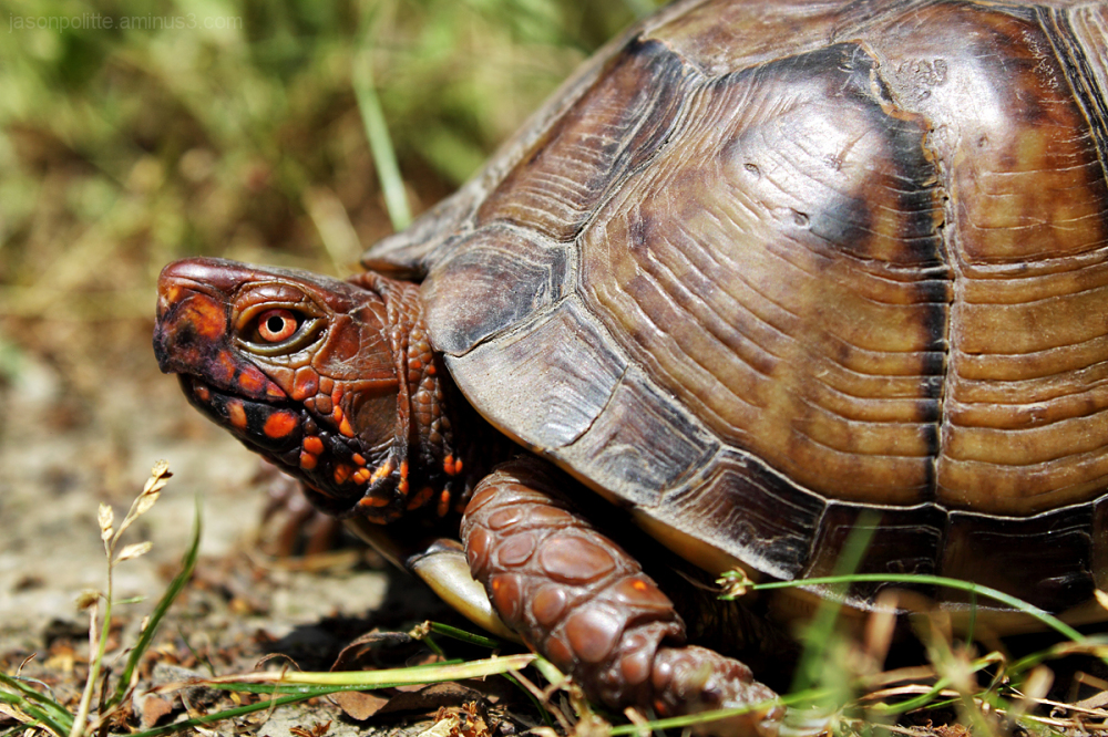 Male Three-Toed Box Turtle showing off his colors