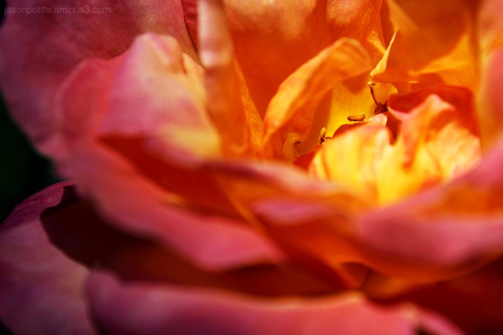 Broadway Hybrid Tea Rose Macro.