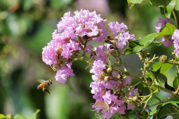 Honey Bee collecting pollen from a Crepe Myrtle.