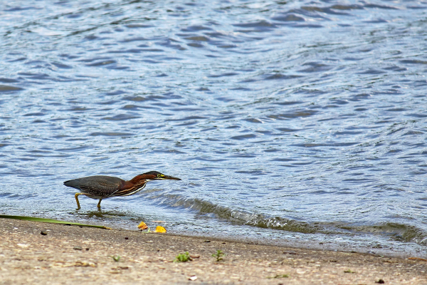 Green Heron hunting for fish