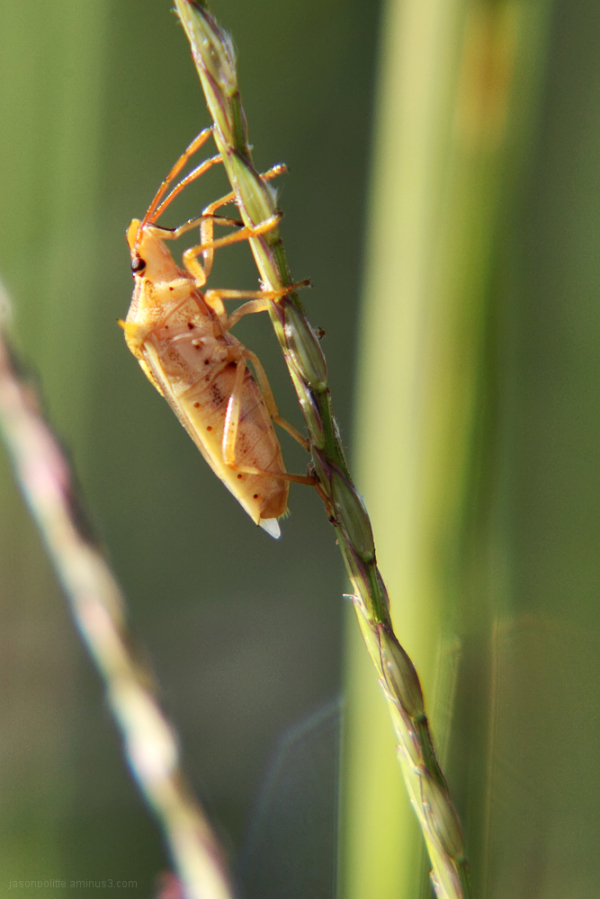 Spined soldier bug holding onto a piece of grass.