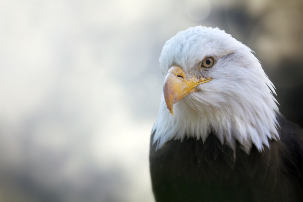 Bald Eagle - iconic symbol of America