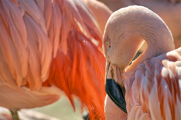 Flamboyant Pink Flamingo strikes a pose