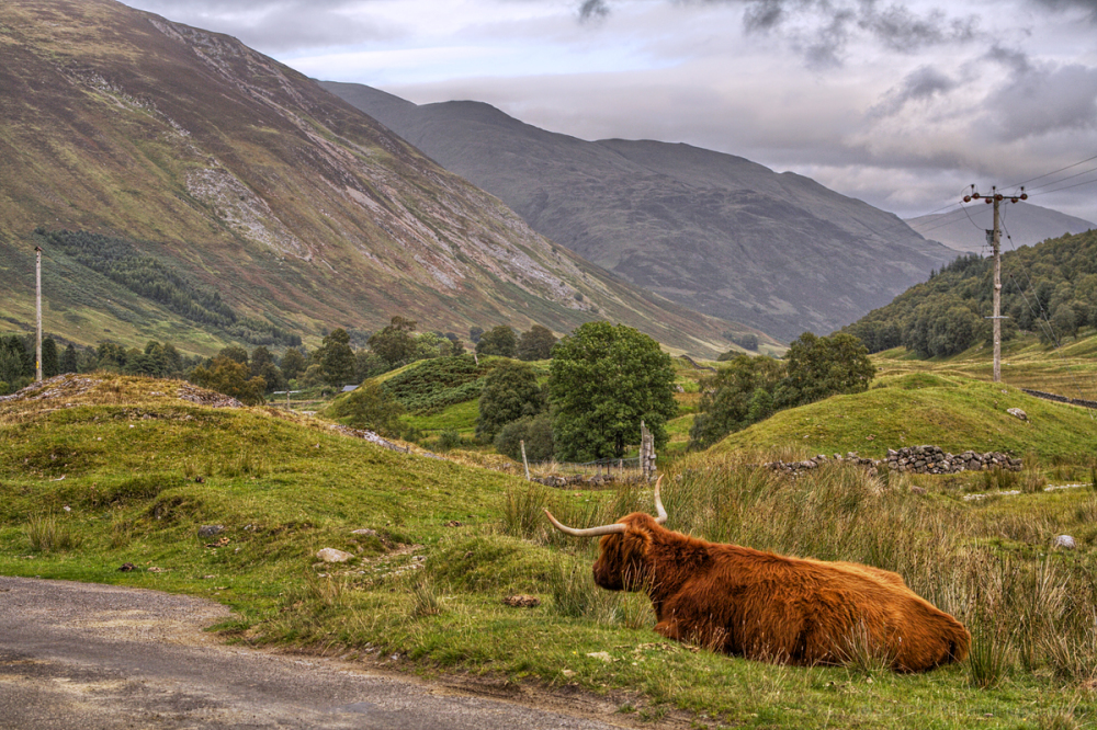 Highland Cow amongst the Scottish highlands