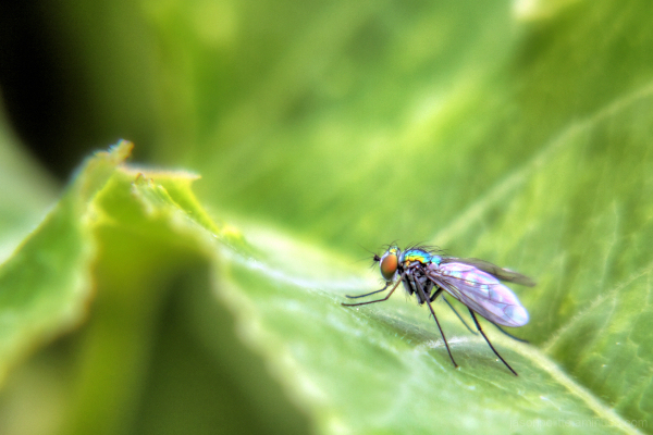Macro of a Dolichopodid fly on a leaf.