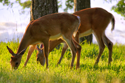 The Whitetail Deer of Mt. Nebo