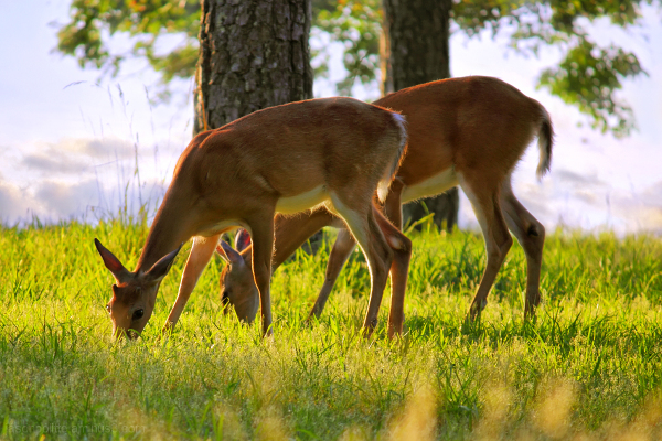 The Whitetail Deer of Mt. Nebo, Arkansas