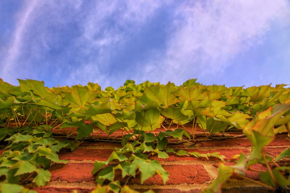 Ivy climbing the walls