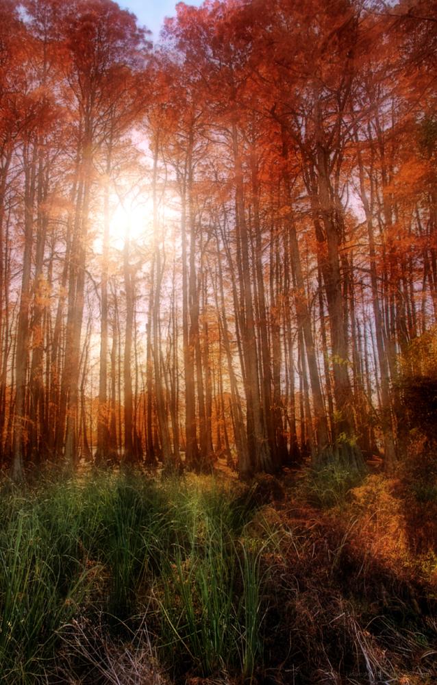Autumn Cypress Trees