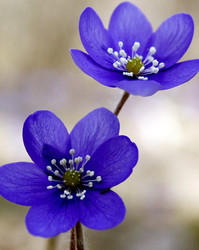 Sinililled, Hepatica