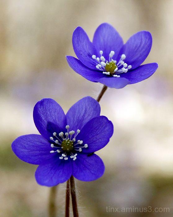 Hepatica flowers