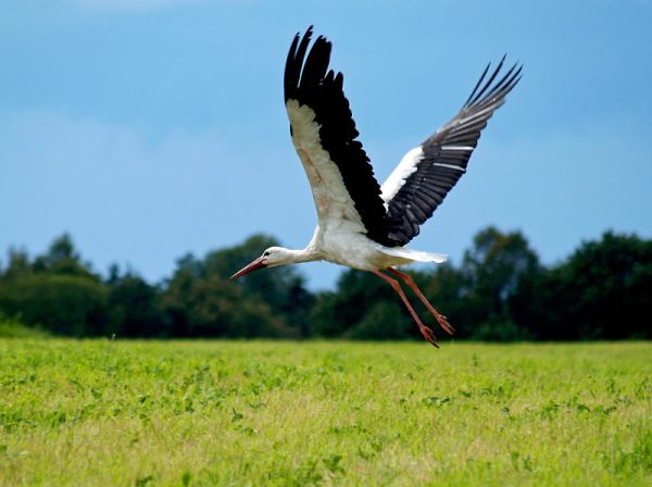 Valge-toonekurg, White Stork, Ciconia ciconia