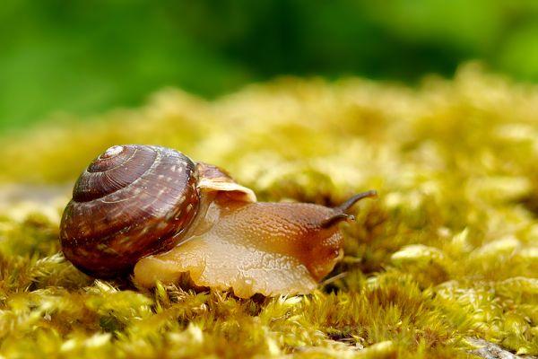 Tigu, Snail